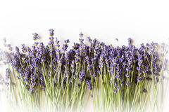 Row of lavender flowers on white background with copy space Stock Photos