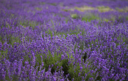 A row of lavenders 2 royalty free stock photos