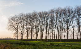 Row of leafless trees in low afternoon sunlight Royalty Free Stock Photography