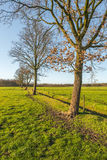 Row of leafless trees on a sunny day in winter Royalty Free Stock Images