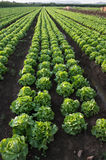 Row Of Lettuce Royalty Free Stock Image