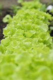 Row of Lettuce on Bed Royalty Free Stock Photos