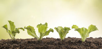 A row of lettuce seedlings in the garden Royalty Free Stock Photos