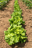 A row of lettuce in a vegetable bed Stock Photos