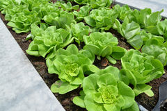 Row of lettuces grow in a farm Stock Image