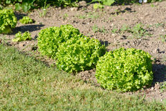 Row of lettuces growing in garden Royalty Free Stock Photo