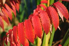 A row of long, pointed beautiful red leaves in succession on a branch stock photos