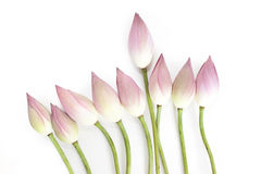 Row of lotus bud with a leader Royalty Free Stock Image