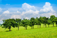 Row of lush green trees in road alley on sunny summer day with blue sky and white clouds.  Stock Image