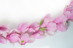 Row of magnolia flowers on a white board royalty free stock image