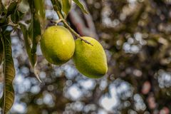 Row green mangoes hanging on tree royalty free stock photography
