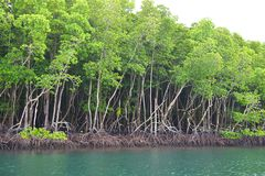 Row of Mangrove Trees in Forest and Water - Green Earth - Baratang Island, Andaman Nicobar, India. This is a photograph of mangrove trees, their roots, and water royalty free stock image