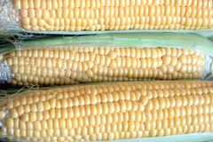 Crop of many ripe raw corn on the cob with green leaves. Row of many ripe corn on the cob with green leaves closeup Royalty Free Stock Photos