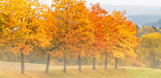 Row of maple tree´s in autumn. Maple leaves in autumn with fog on a morning Stock Image
