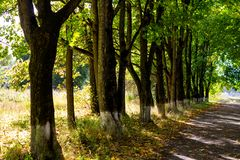 A row of maple trees lit by the rays of the sun stock image
