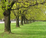 Row of maple trees in spring. Row of maple trees curving away into the distance Royalty Free Stock Photos