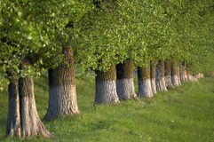 Row of mature trees. Trees planted in a row with white paint on the trunks of the trees royalty free stock images