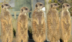 Row of Meerkats on Lookout royalty free stock photo