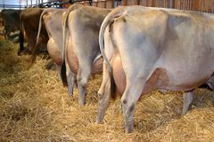 A row of milk cows on a cattle exhibition Stock Image
