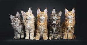 Row of 5 multi colored Maine Coon kittens on black