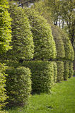 Row of neatly trimmed trees. In the garden royalty free stock photography