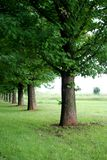 Row of Oak trees. Image of a row of Oak trees along a country lane Stock Photos