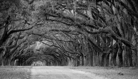 Row of oaks on American Southern plantation Stock Images