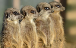 Row Of Meerkats Royalty Free Stock Images