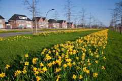 Row Of Narcissus Flowers In The Verge Of A Road Stock Photo