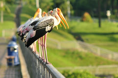 Row Of Painted Storks Royalty Free Stock Photography