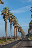 Row Of Palm Trees Along Side A Road Royalty Free Stock Photo