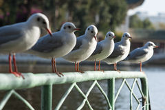 Row Of Sea Gulls Sitting On A Fence Stock Photography