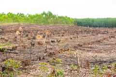Row old cut dried Tree Stumps caused by deforestation , environmental problems Stock Image