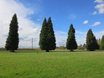 Row of old evergreen tree. View of a coniferous trees in a field stock photos
