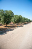 Row of olive trees and local road in a field Stock Image