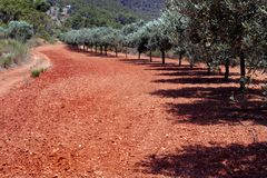 Row of olive trees in red soil. Young olive trees Royalty Free Stock Photo