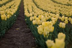 Yellow tulips field. Flowering spring.  Breath of spring. stock images