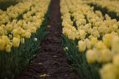 Yellow tulips field. Flowering spring.  Breath of spring. stock photography