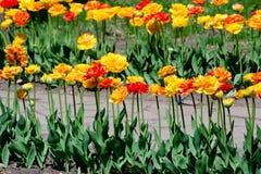 Orange tulips. The row of orange tulips Royalty Free Stock Images
