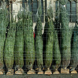 Row of packed christmas trees Stock Photography