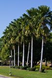 Row of Palm tree Royalty Free Stock Photography