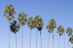 Row of Palm Trees. A row of several palm trees stretching into the air with solid blue sky behind. The slender trunks are lined up in a sort of pattern royalty free stock photography