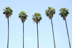 Row of Palm Trees Royalty Free Stock Photography
