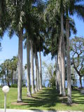 A Row of Palm Trees. At the Thomas Edison Estates in Fort Myers Florida Stock Photography
