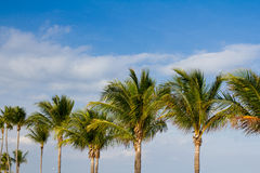 Row of palm trees Royalty Free Stock Image