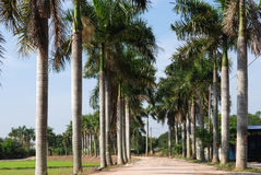 Row of palm trees. At the countryside stock photo