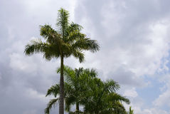 Row of palm trees agains cloudy sky. A row of  tall palm trees against a cloud filled sky with room for copy or text Royalty Free Stock Photos