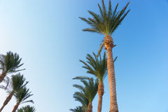 Row of palm trees against a beautiful blue sky Stock Image
