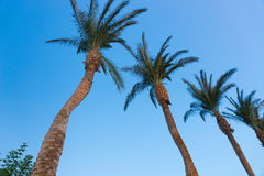 Row of palm trees against a blue sky Royalty Free Stock Image