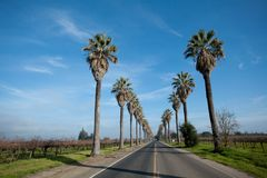 Row of Palm Trees along side a road Royalty Free Stock Image